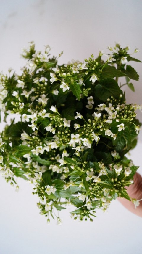 Flower shoots of wasabi 15-20 cm - price per kg